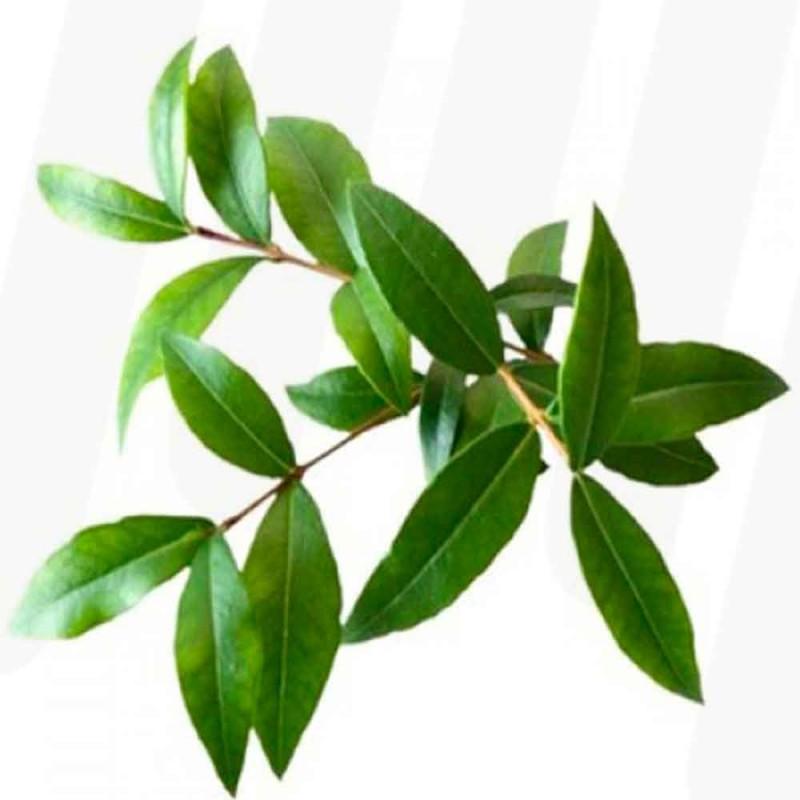 Eucalyptus blader